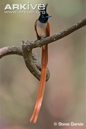 Asian-paradise-flycatcher-portrait