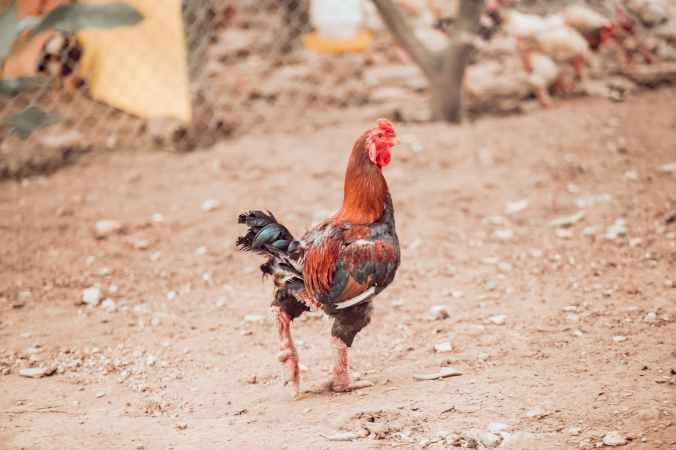photo of walking rooster